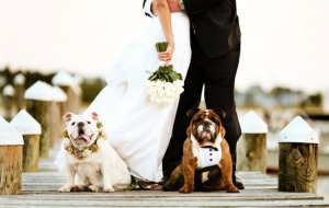 pet-in-wedding-18-bull-dogs